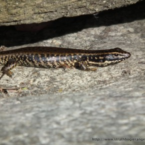Several Southern Water Skinks sunned themselves whilst we cooled down.