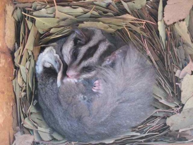 Squirrel Glider at home in a nest-box. Photo Ray Thomas.