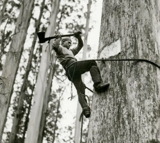 A man chopping down a tree with an axe, while attached to the tree by ropes. Source- The Argus newspaper c. 1946.