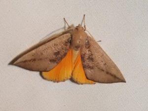 SRCMN Strathbogie Moth Night
