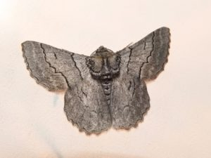 SRCMN Strathbogie Moth Night