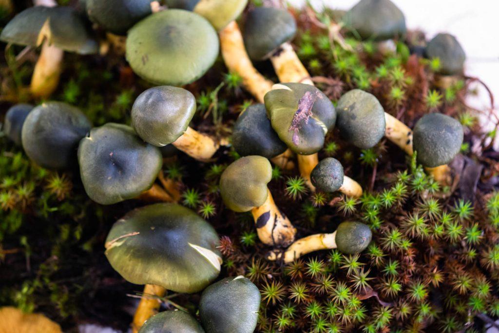 Wild Australian mushrooms